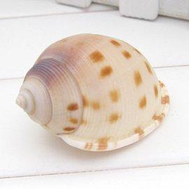 海螺貝殼珊瑚 小棋盤鬘螺4CM 地台魚缸 牆貼裝飾20個