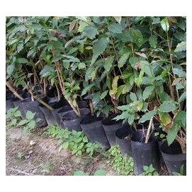 6年生咖啡樹苗^~一棵苗 NT 170._ ^(一批 10棵^)^~ ~阿拉比卡樹_ ^~