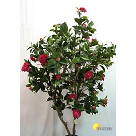 ^~橘子空間裝置藝術^~ 人造 大型茶花樹盆栽.植栽 ^(含花器^)~人造樹.居家.店面.