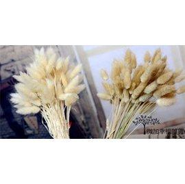 ^~微加幸福雜貨小築^~zakka 日系鄉村雜貨 兔尾草 乾燥花  天然花卉 米白色 原色