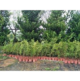 元茂 羅漢松 每單位四盆一千二百元 約足一年樹齡盆栽,實品拍攝,日式庭園圍籬樹可