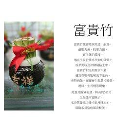 心栽花坊~富貴竹 開運竹 圓滿瓷盆 觀葉植物 室內植物 送禮盆栽 禮盆 祝賀盆栽 售價12