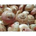 【阿草雜貨舖】-*關島䗉螺---貝殼工藝材料 10顆50元*- 16mm~20mm, 產地:菲律賓